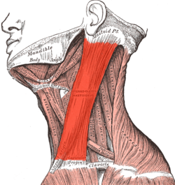 "sternocleidomastoideus -  - I call these the ""model muscle"" because you always see this muscle prominently in photos of models when their heads are turned to the side.  It is NOT what you want to use for the ""chin tuck"" execise."